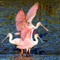 Roseate Spoonbills and more