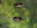Double Butterfly Delight