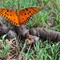 Orange butterfly on brown
