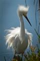 Emo Egret