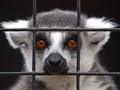 PB116038 - Ring-tailed Lemur
