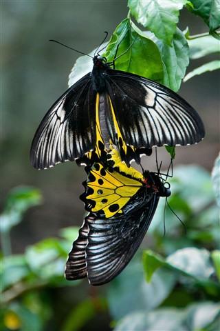 Goliath Birdwings mating