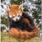 Red Panda_5887