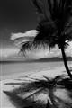 Palms BW