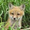 Fox kit+