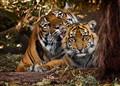 Tiger Cub Bath Time