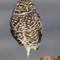 Burrowing-Owl