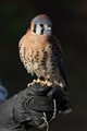 Kestrel on the glove