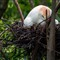 Cattle Egret (Bubulcus ibis) on her nest