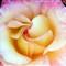rose morning1826
