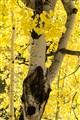 aspen in grove