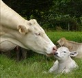 Charolais Cow-Calf Pair