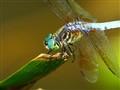 Dragonflies, DSC09044