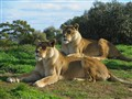 Lions at Werribee Park