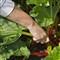 Picking Rhubarb