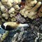 Masked puffer fish_0005