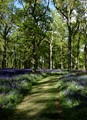 A Walk in the Bluebell Wood.