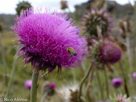 Cardo y abeja
