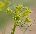 Green Mountain Flower