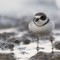 Semipalmated Plover Three