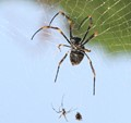 Male and Female Golden Orb Arachnid 2