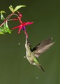 Magnificent Hummingbird 2