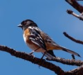 Spotted Towee