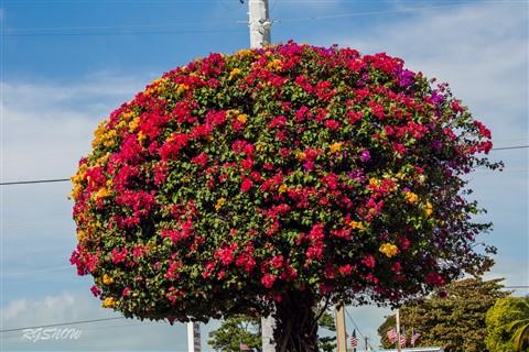 Boganvilla Tree- Tamron 35-135 AF Tele Macro3