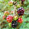 Seasonal wild berries