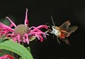 The Pollinator - Hummingbird Moth