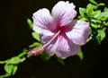 HIBISCUS--FROM MY GARDEN..!!