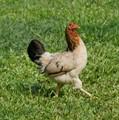Chicken roams free in Raratonga