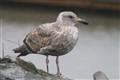 Juvenille Seagull
