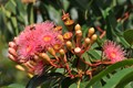 Flowering Gum tree.