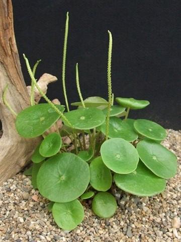Peperomis scuteliifolia Atiguipa Peru