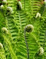 Young leaves of a fern