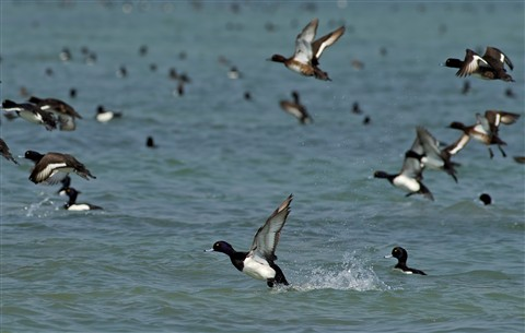 18 march 2012 chilika tufted ducks