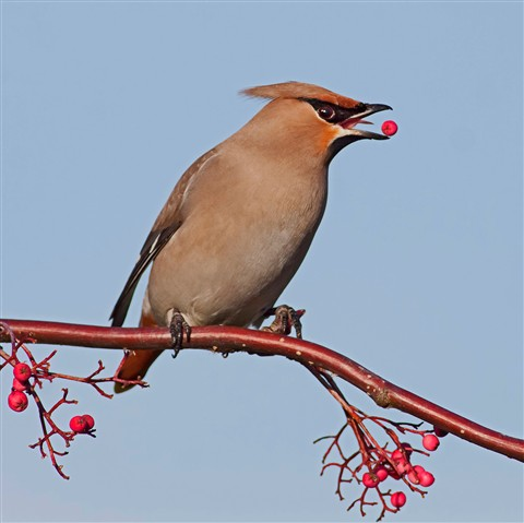 Best Picture of Week - Waxwing balancing berry
