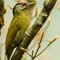 Grey -headed woodpecker-Male