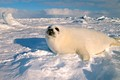 seal pup on ice floe in magdellan islands of quebec