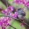 Male Dark-eyed Junco in Redbud - 1600 sq