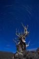 Bristlecone Pines #17