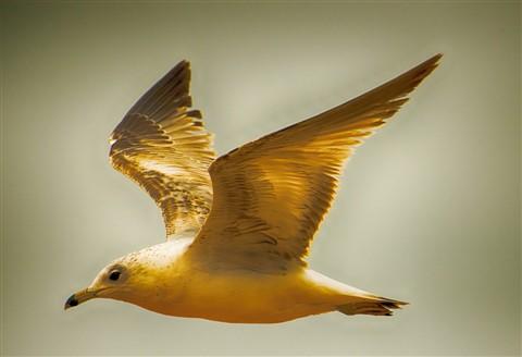Laughing gull?