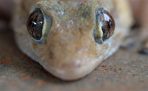 Gekko Eyes