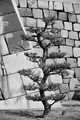 A pine against the wall of Osaka castle in Japan