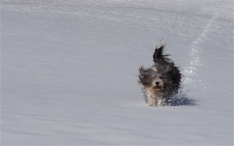 Flying bearded collie