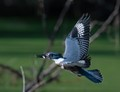Belted kingfisher in flight with a cath