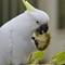 Sulphur-crested Cockatoo (Cacatua galerita):