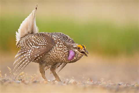 Sharp-tailed Grouse Rest_