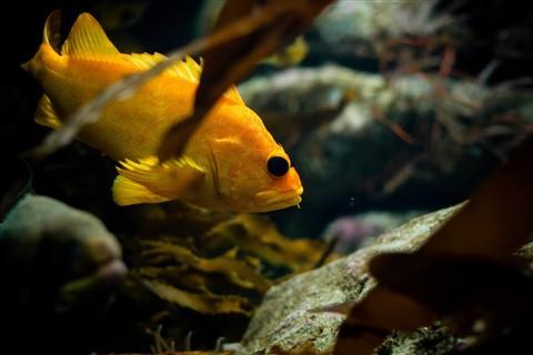 Yellow Rockfish